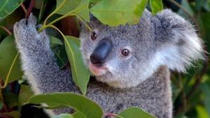 Bébés animaux du monde sauvage (Au pays des kangourous : L'après-midi (16))