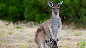 Bébés animaux du monde sauvage (Au pays des kangourous : Le matin (15))