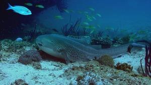 L'Arabie et ses secrets marins (Des carnivores dans le jardin de corail) (1/5)